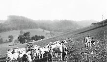 Weidegang am Neuhuser 1900
